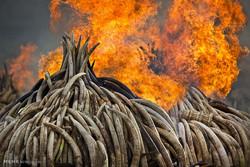 Kenya'da fildişleri yakıldı