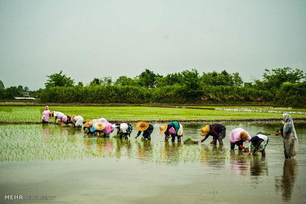شروع فصل کاشت برنج در گیلان
