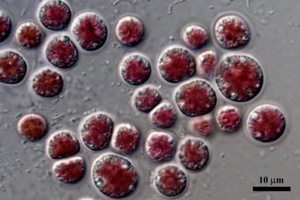 باحثون ايرانيون يكتشفون نوعاً من الطحالب الحمراء الغنية بالبروتينات