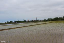 استفاده از ۲۰ هزار متر مکعب آب برای کاشت برنج در شهرستان بروجرد