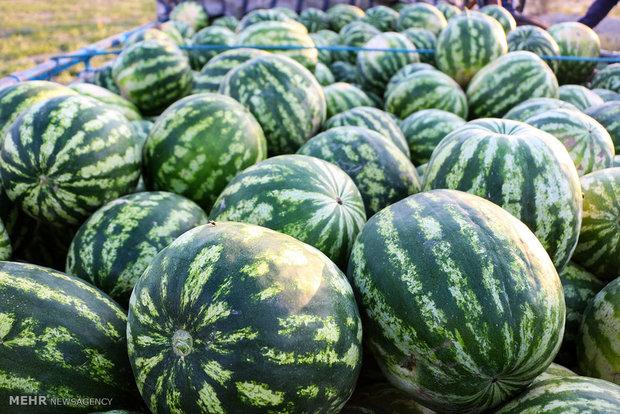 ۲۰۰۰ تن محصولات کشاورزی از شهرستان کنگان به کشور قطر صادر شد