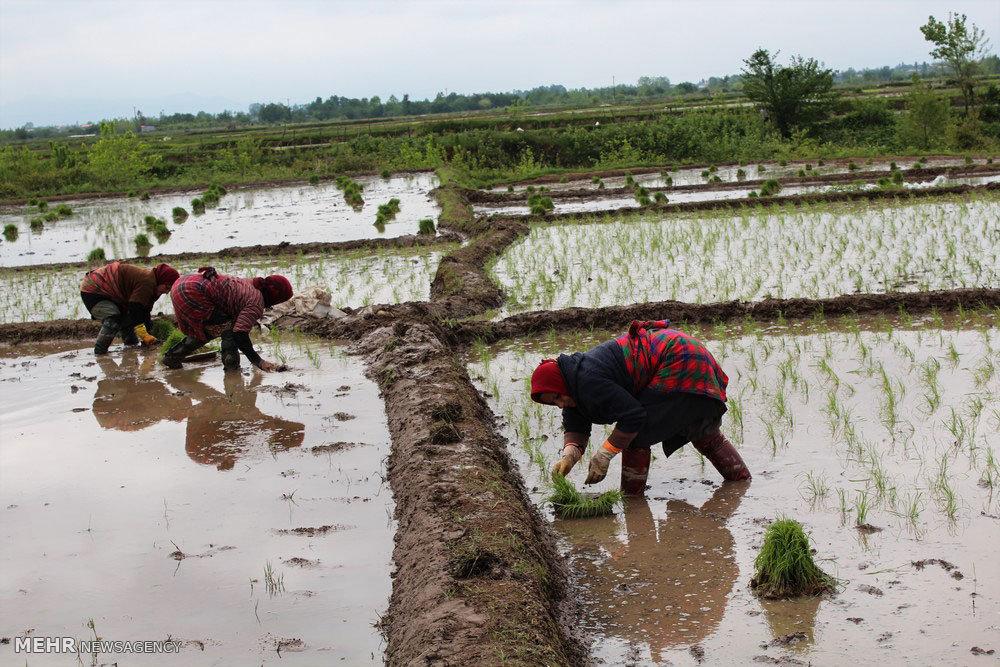 رقابت شانه به شانه ارقام اصلاح شده برنج/ بررسی نقش بازار
