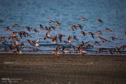 نیمی از پرندگان مهاجر کشور در تالاب میانکاله فرود میآیند