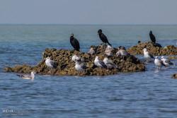 پرندگان سدشهیدکاظمی سقز و پناهگاه حیات وحش زریوارحلقه گذاری شدند