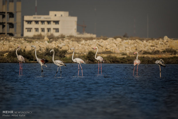 Migratory birds in Persian Gulf