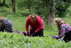 Gilan'da çay tarlaları