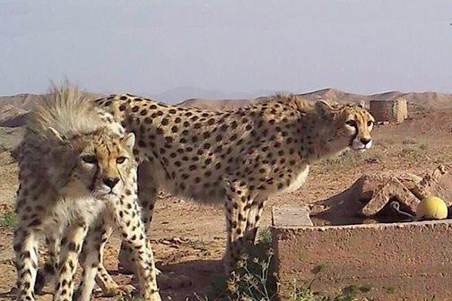 ۸ قلاده یوزپلنگ ماده در توران شاهرود وجود دارد