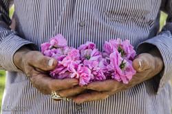 برداشت گل محمدی و گلاب گیری
