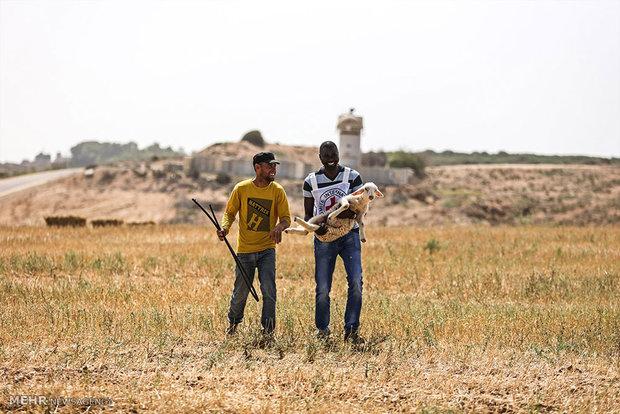 برداشت گندم در غزه