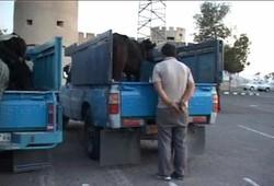 سارق حرفه ای احشام در چالوس دستگیر شد