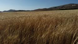 مزارع گندم نهاوند
