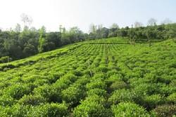 کراپشده - باغ چای