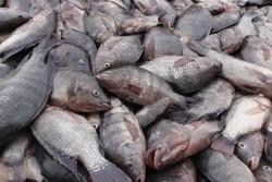 هشدار فائو درباره شیوع ویروس مرگبار تهدیدکننده ماهی تیلاپیا