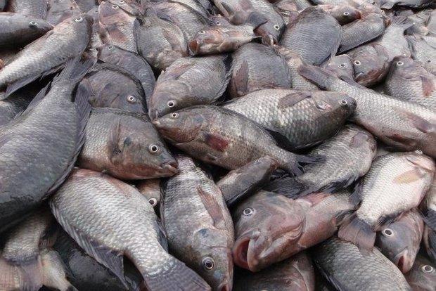 واردات بیش از۶۰میلیون دلارتیلاپیا/تولیدکنندگان قزلآلا دلسرد شدند