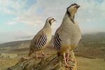 گەڕاندنەوەی ۱۰ کهو بۆ سروشتی کوردستان