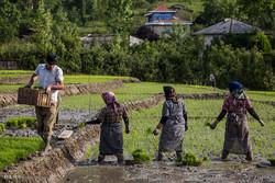آغاز خرید توافقی برنج/قیمت خرید اعلام شد