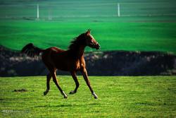 Asıl Türkmen Atı
