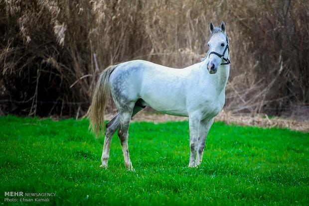 الخيول التركمانية إرث الطبيعة الايرانية