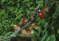 ۴۸۰ هزار تن محصول از باغات استان مرکزی برداشت شد