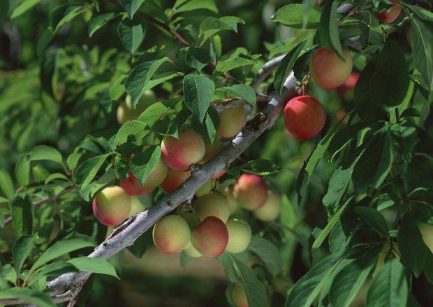 تسریع در برداشت محصولات باغی در چهارمحال و بختیاری ضروری است