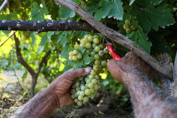 برداشت انگور در هشت بندی
