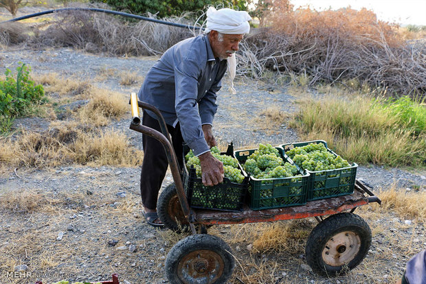 Fresh grapes harvest begins in southern plantations