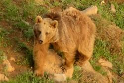 کراپشده - تصویربرداری از خرس قهوهای در البرز مرکزی