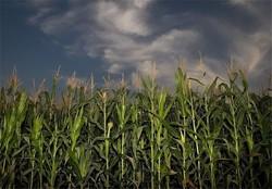 کشاورزی در شاهرود - ذرت