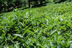 فصل برداشت چای بهاره از باغات چای روستای بازنشین رحیم آباد گیلان