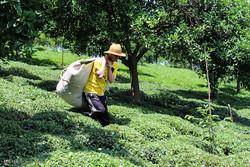 افزایش ۲۰ درصدی تولید برگ سبز چای/۴۷ هزار تن برداشت شد