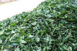 نرخهای جدید خرید تضمینی چای/ افزایش ۷ درصدی قیمت خرید