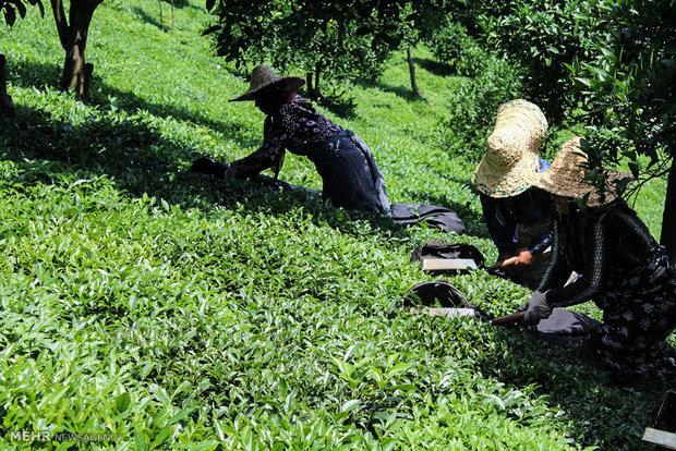 پایان فصل برداشت برگ سبز چای/ ۲۸ هزار تن چای ایرانی تولید شد