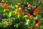 قیمت میوههای تابستان در اصفهان کمتر از ۱۳ هزار تومان است