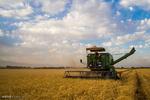 ۶۲هزار تن گندم در استان هرمزگان برداشت شد
