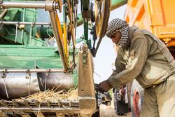 ۵۰ هزار  تن گندم از کشاورزان زنجانی خریداری شده است