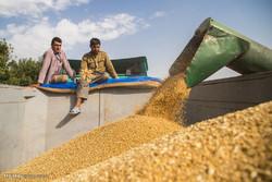 ۲۳۰ تن گندم در استان زنجان خریداری شده است