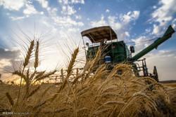 افزایش تولید گندم در جهرم با اصلاح الگوی گشت/ مصرف آب بهینه شد