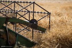 بیش از ۵۲۸ هزار تن گندم در آذربایجان غربی برداشت می شود