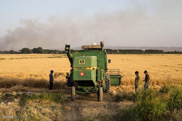 Wheat harvest in Iran