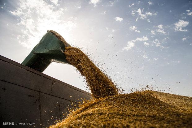 خرید ۲۸ هزار تن گندم از کشاورزان البرزی/برداشت ۹۵ درصدی مزارع جو