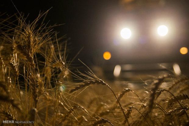 حصاد القمح في ايران