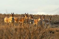 """دراسة جديدة للحمار البري الفارسي في محمية """"قطروية"""""""
