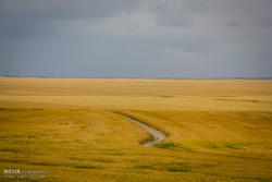 کاهش ۲۰۰ هزار تنی تولید گندم در اردبیل/تنش آبی عامل اصلی است