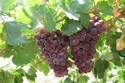 Batı Azerbaycan'da 266 bin ton üzüm hasadı