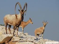 دستگیری شکارچیان بز کوهی در لامرد فارس