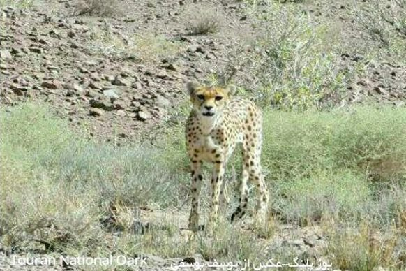 Rare glimpse of Asiatic Cheetah caught