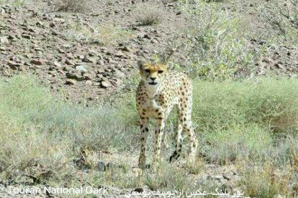 کراپشده - یوزپلنگ ایرانی پارک ملی توران