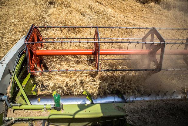 Kazvin'de buğday hasadı