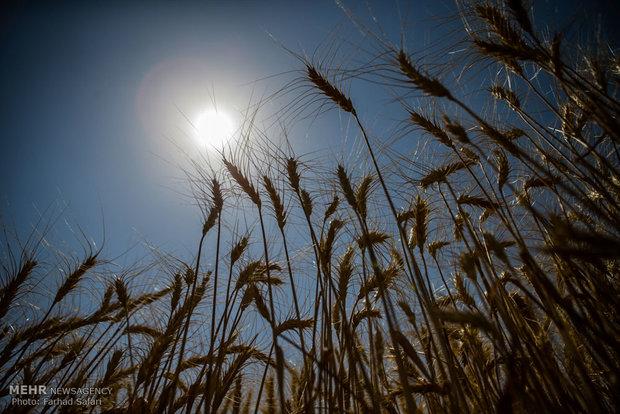 وزير الزراعة يتوقع وصول انتاج ايران من القمح الى اكثر من 10 ملايين طن