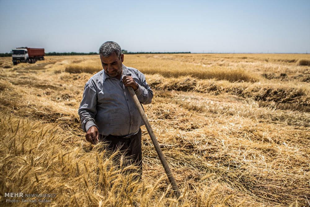 برداشت گندم در قزوین